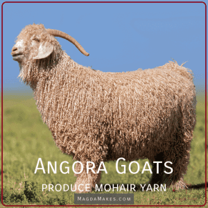 angora goat in a field